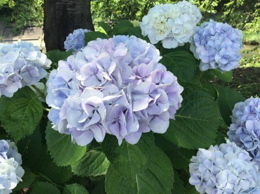 紫陽花がキレイ☆